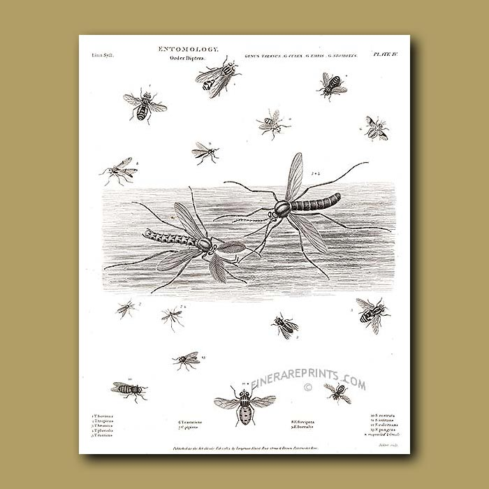 Antique print. Horse Fly, Mosquito, Stable (biting) Fly