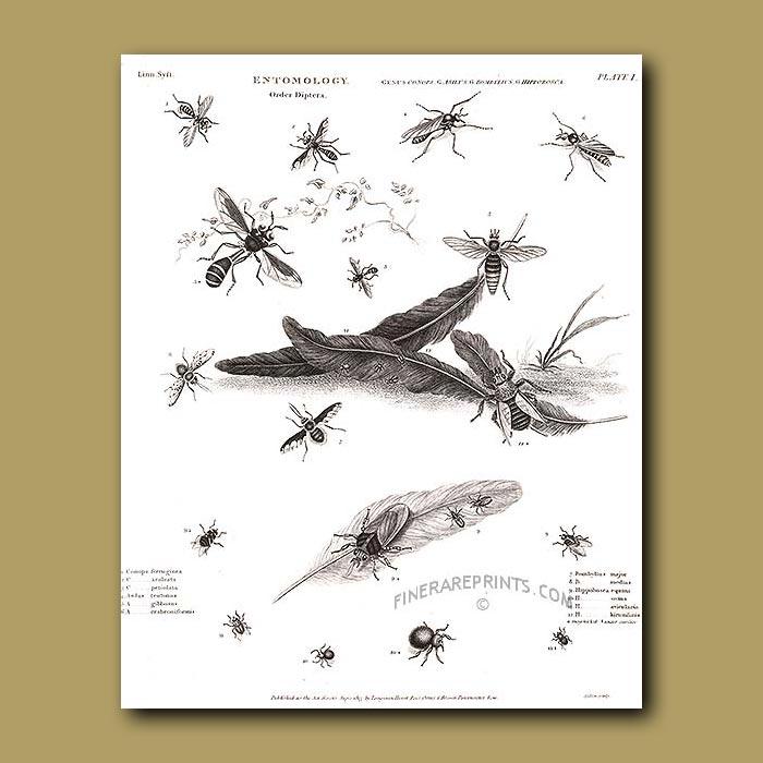 Antique print. Horse flies, Dog-flies and Bee-flies