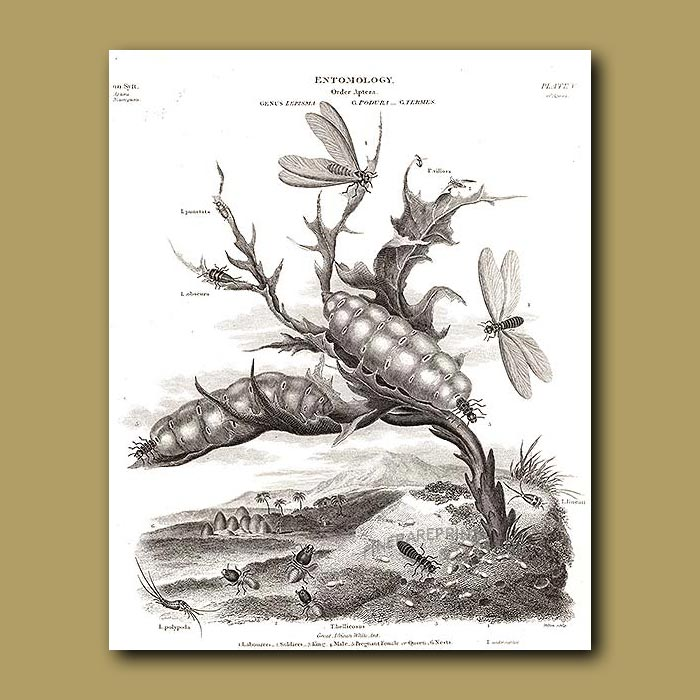Antique print. Termites and termite mounts, Silverfish and Springtails