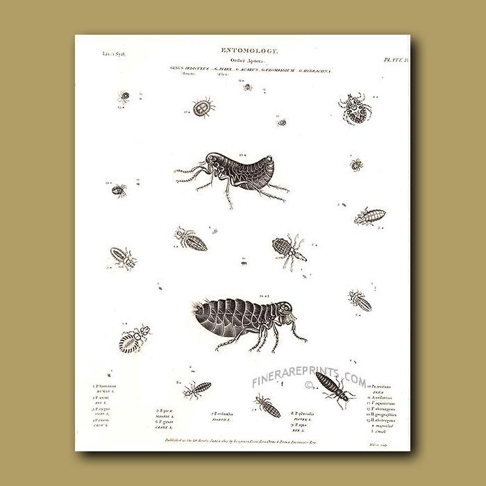 Antique print. Louse and Fleas