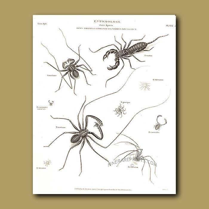 Antique print. Whip Spider