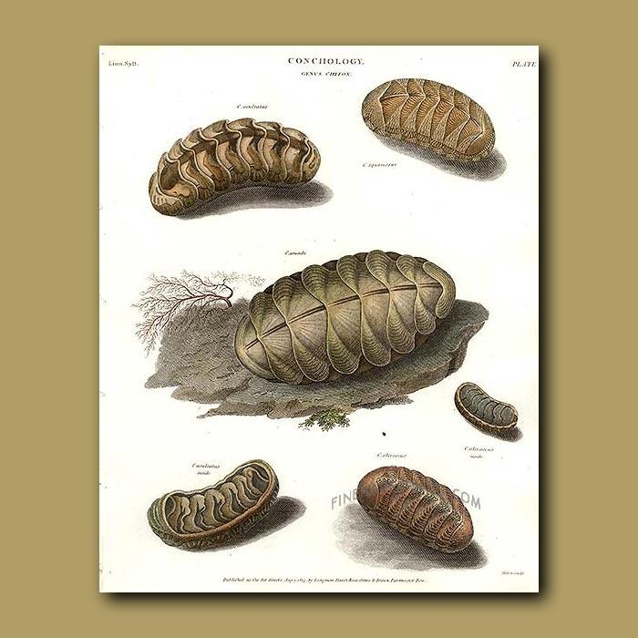 Antique print. Chiton shellfish