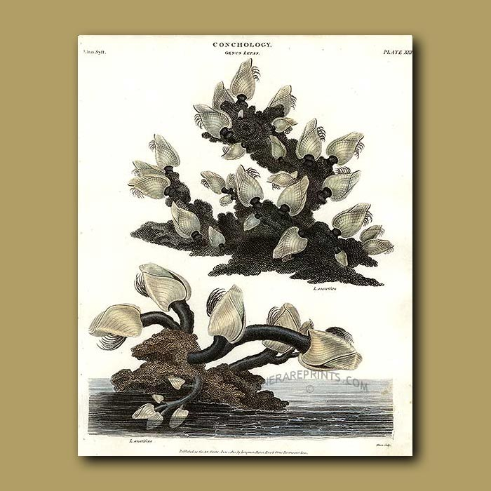 Antique print. Duck or Goose Barnacle