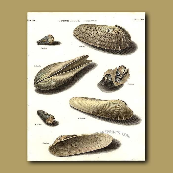 Antique print. Pholas or Borer Shells