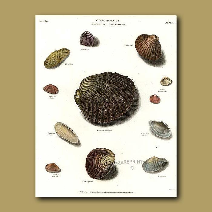 Antique print. Cockle Shells
