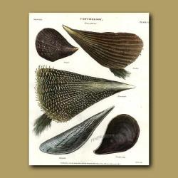 Penna Shells