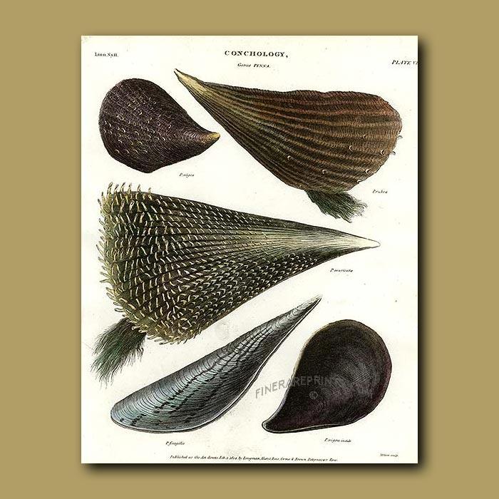 Antique print. Penna Shells