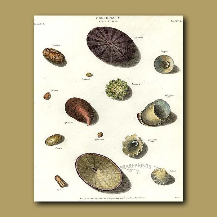 Antique print. Patella Shells