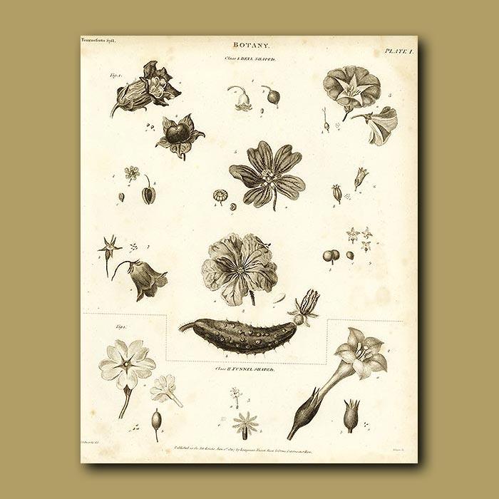 Antique print. Botany
