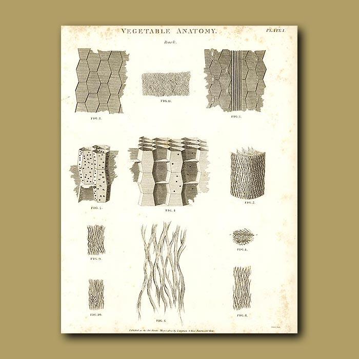 Antique print. Vegetable anatomy