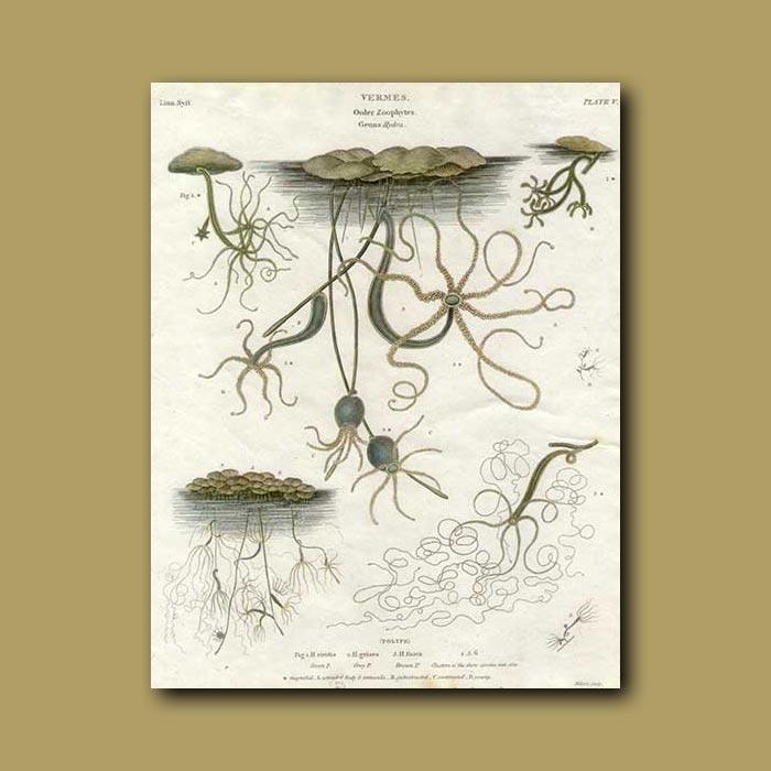 Antique print. Sea Stars