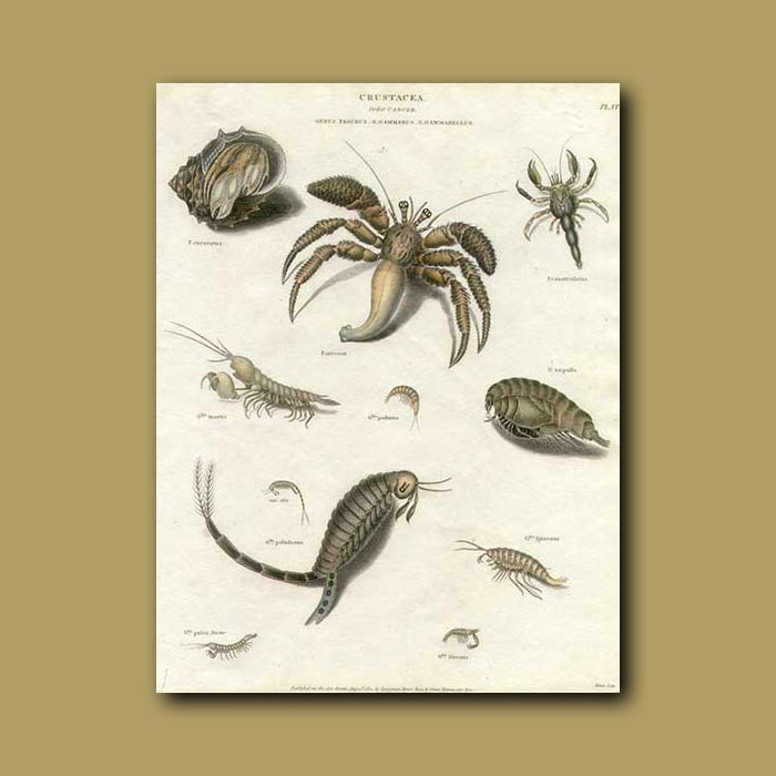 Antique print. Crabs and shrimps