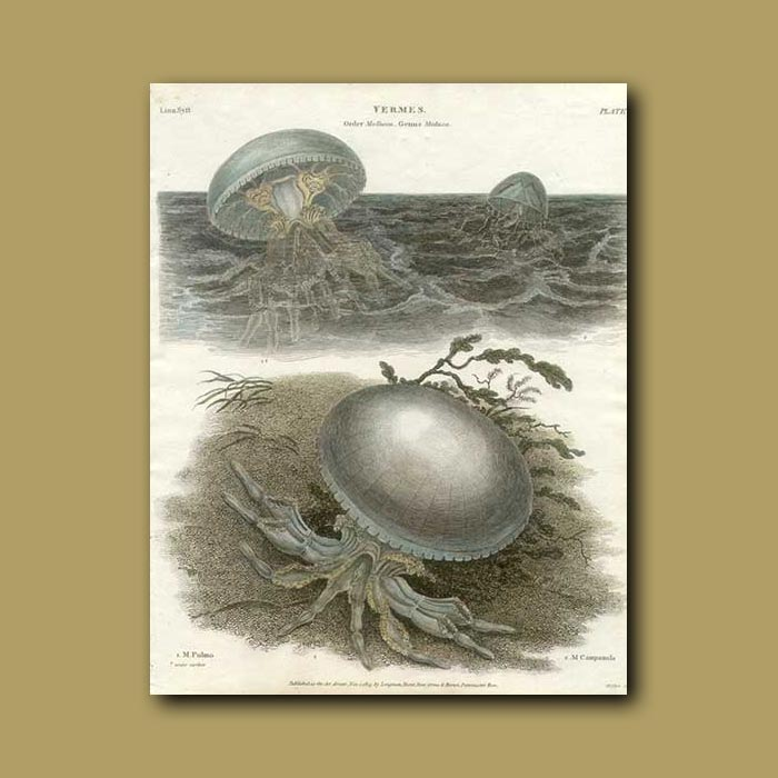 Antique print. Jellyfish