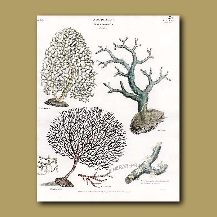 Antique print. Coral - Colorful brain coral etc