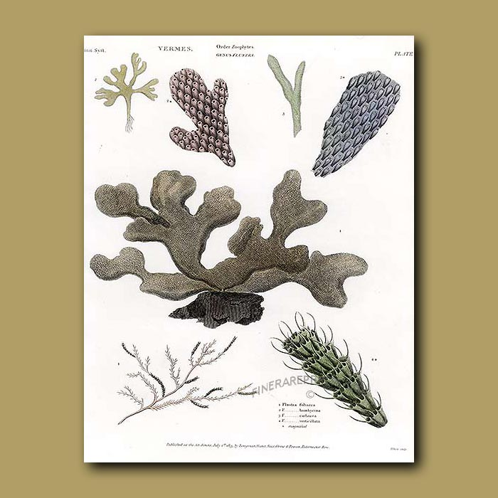 Antique print. Coral
