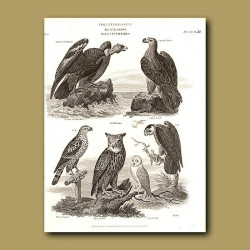 Vulture, Falcon, Horned Owl And Hobby