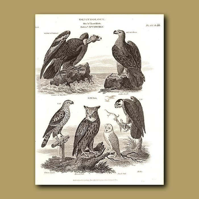 Antique print. Vulture, Falcon, Horned Owl and Hobby