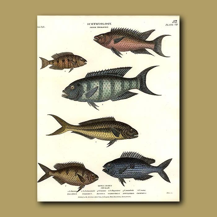 Antique print. Gilt Head Fish