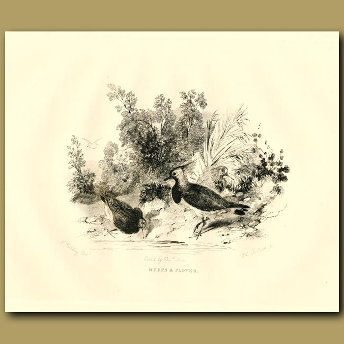 Antique print. Ruffs And Plover