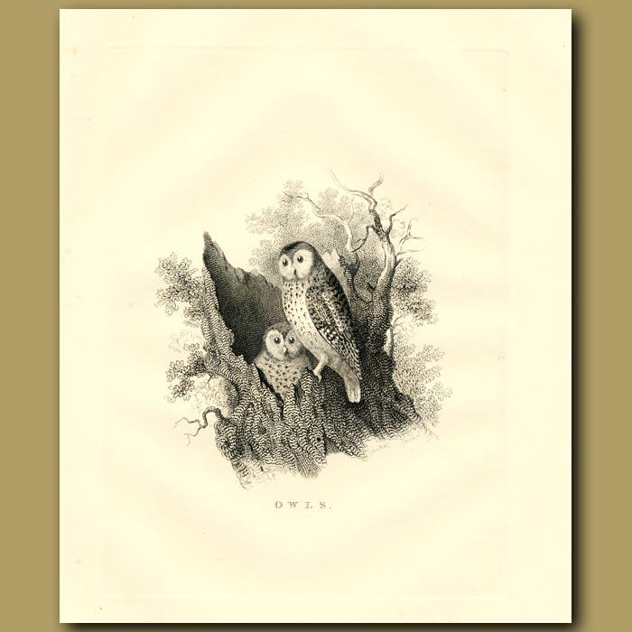Antique print. Owls
