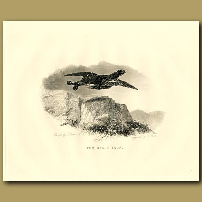 Antique print. The Black-Cock, Grouse