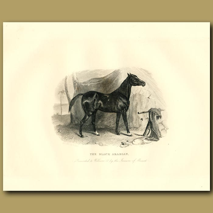 Antique print. The Black Arabian, Presented To King William Iv By The Iman Of Muscat