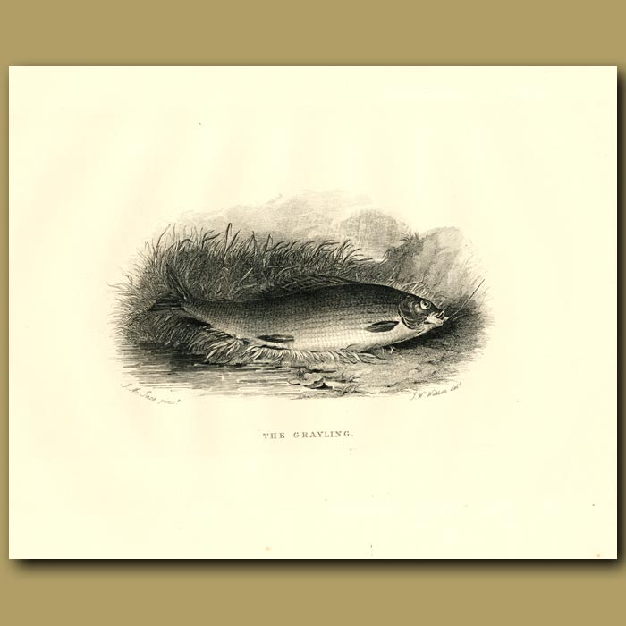 Antique print. The Grayling