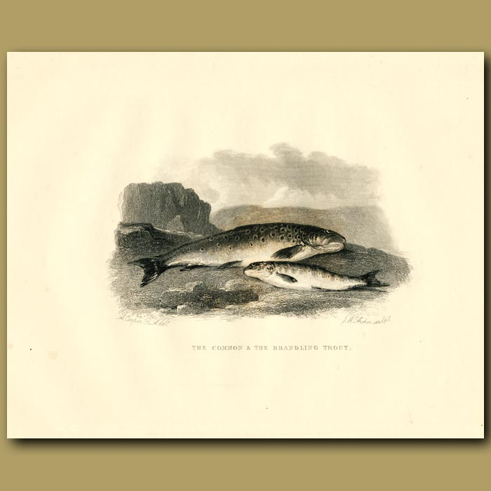 Antique print. The Common And The Brandling Trout