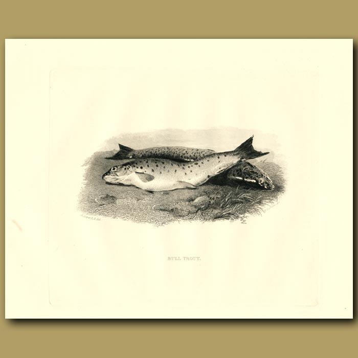 Antique print. Bull Trout