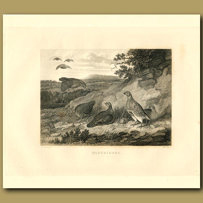 Antique print. Partridge