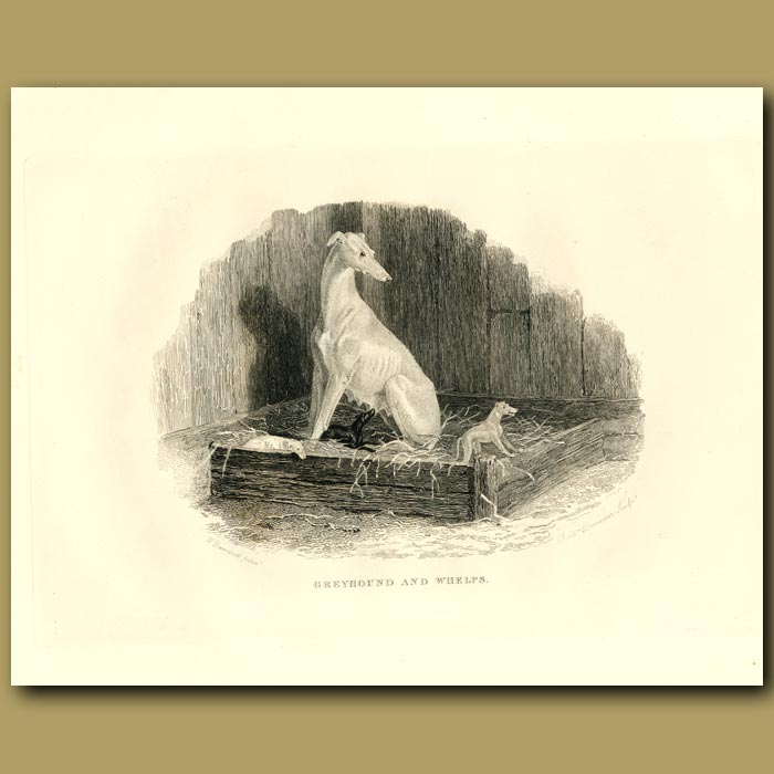 Antique print. Greyhound And Whelps