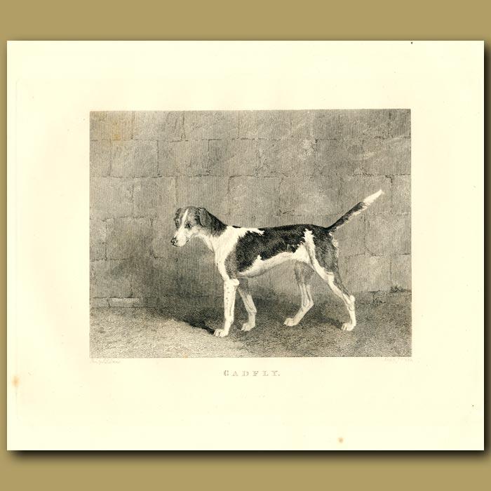 Antique print. Pointer Dog