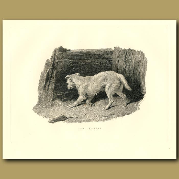 Antique print. The Terrier