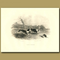 Greyhounds Or Whippets Chasing A Hare