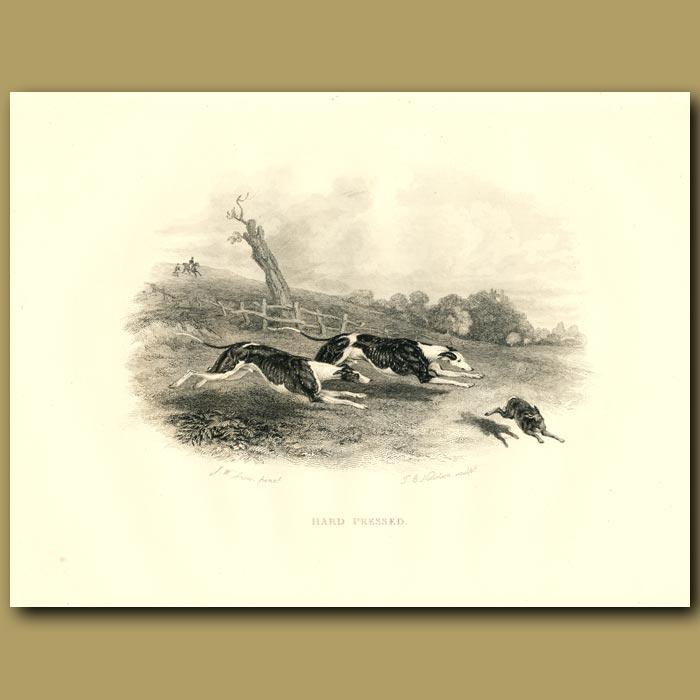 Antique print. Greyhounds Or Whippets Chasing A Hare