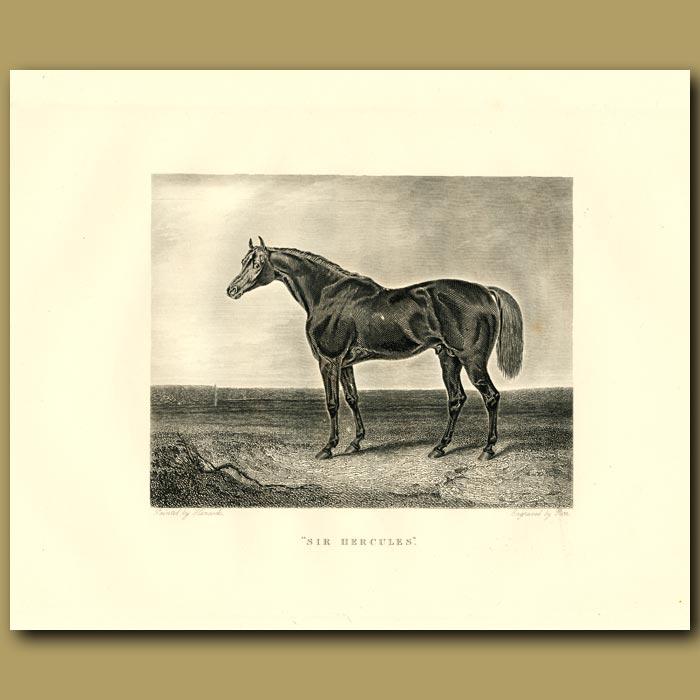 Antique print. Sir Hercules, A Racehorse