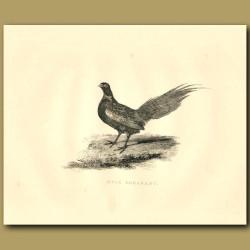 Mule Pheasant