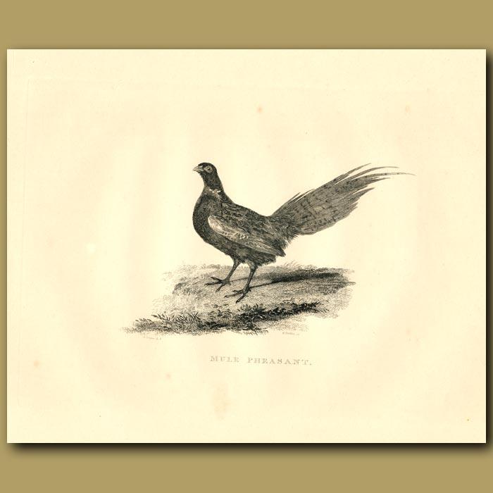 Antique print. Mule Pheasant