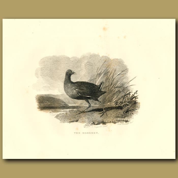 Antique print. The Moorhen