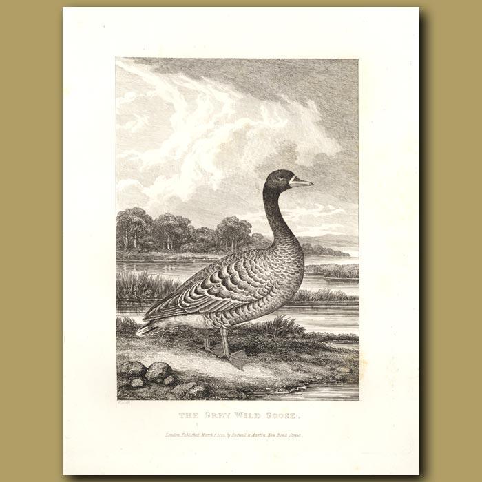 Antique print. The Grey Wild Goose