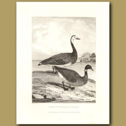 Brent And Bernacle Goose