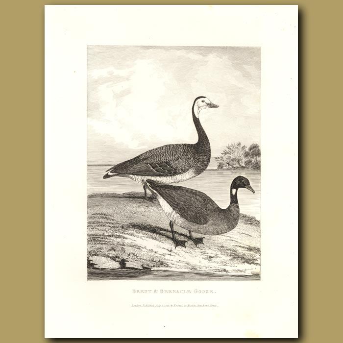 Antique print. Brent And Bernacle Goose