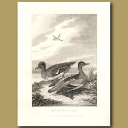 Garganey And Teal Ducks