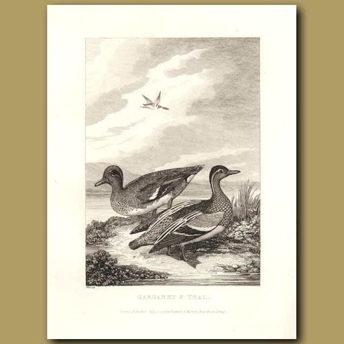 Antique print. Garganey And Teal Ducks