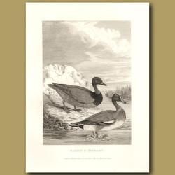 Wigeon And Pochard Ducks