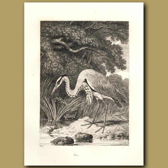 Antique print. Heron