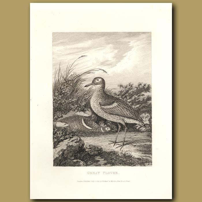 Antique print. Great Plover