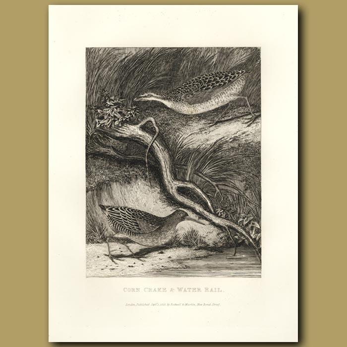 Antique print. Corn Crake And Water Rail
