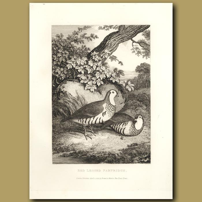 Antique print. Red Legged Partridge