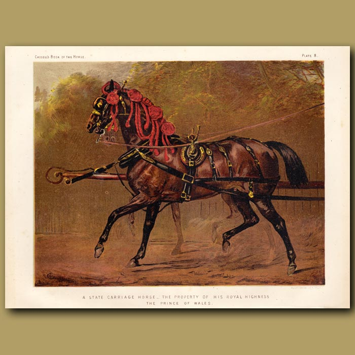 Antique print. A State Carriage horse, property of His Royal Highness the Prince of Wales